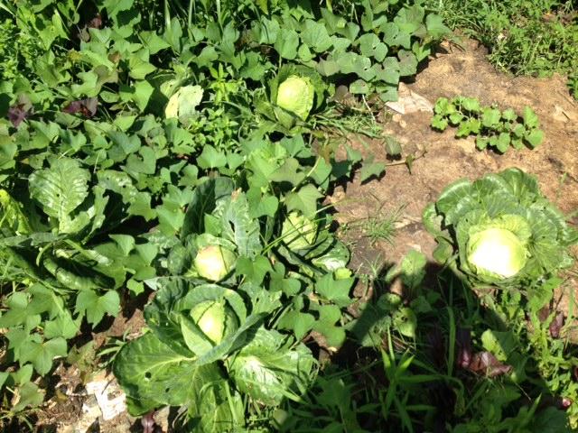 Cabbage NFN 2.jpg