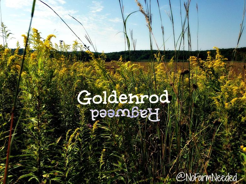 Goldenrod vs Ragweed @NoFarmNeeded