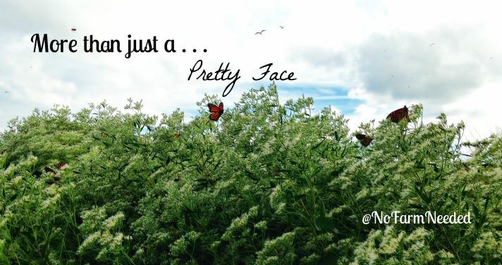 Monarch Butterflies @NoFarmNeeded