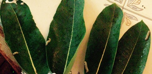 Milkweed Caterpillar NoFarmNeeded