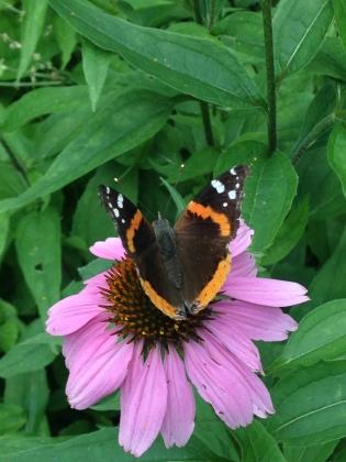 Monarch Butterfly Coneflower NoFarmNeeded