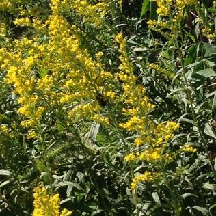 Goldenrod Golden Flowers