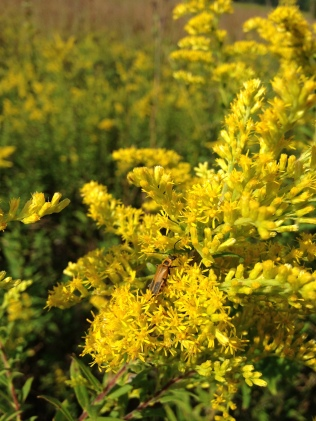 Goldenrod with insect NoFarmNeeded