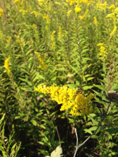Insect pollination goldenrod NoFarmNeeded