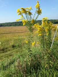 Goldenrod NoFarmNeeded
