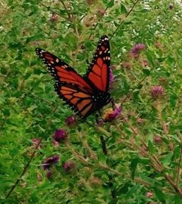 Butterfly NoFarmNeeded