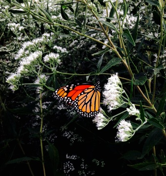 Monarch Butterfly NoFarmNeeded