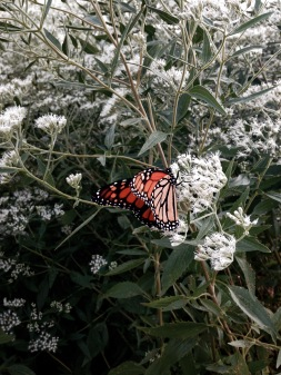 Monarch Butterfly Pollination NoFarmNeeded