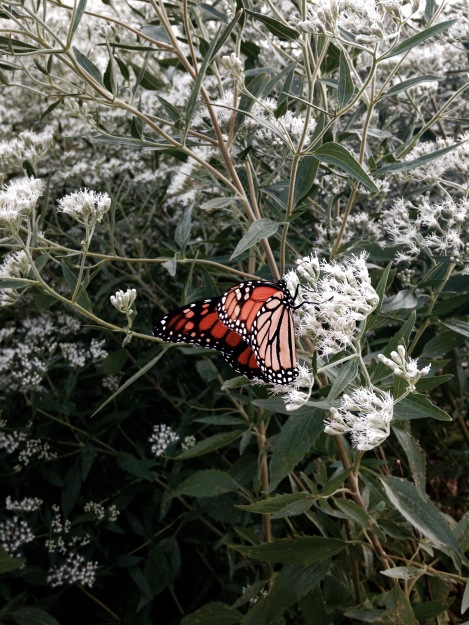 Monarch Butterfly Pollination NoFarmNeeded