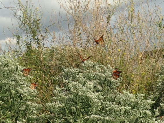 Monarch_Butterflies_Flight_NoFarmNeeded