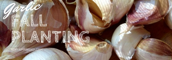 Fall Sowing Garlic