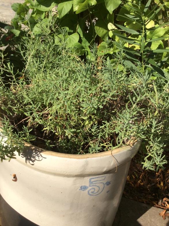 NoFarmNeeded Annual Lavender