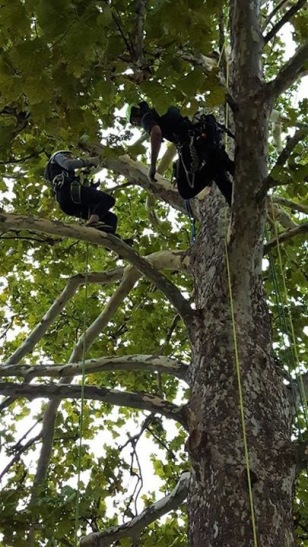 NoFarmNeeded_Climbing_a_Sycamore Tree