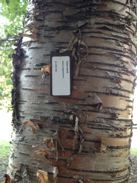 YellowBirch_NoFarmNeeded_BarkIdentification