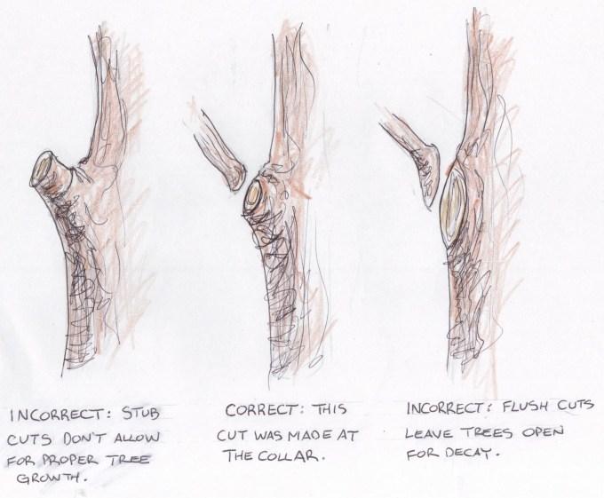 pruning-cuts