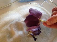 Tulip Dried NoFarmNeeded