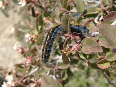 Tent Caterpillar  NoFarmNeeded