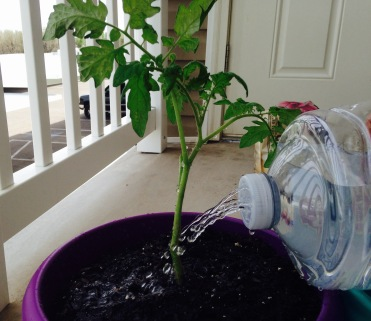 Watering the plant