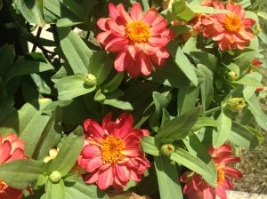 Zinnia Salmon AAS Winner