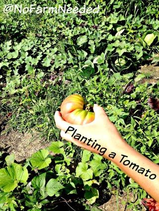 Planting a Tomato NoFarmNeeded