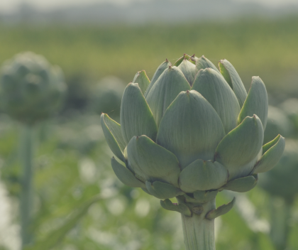 artichoke nofarmneeded